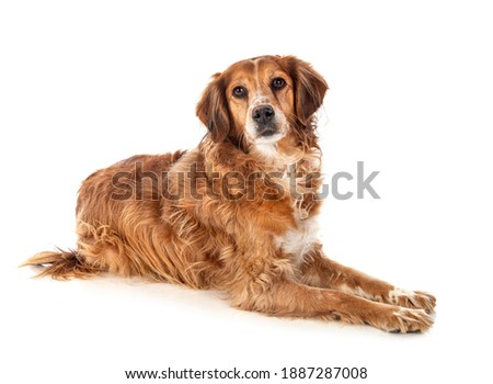 brittany spaniel in front of white background Foto stock ©