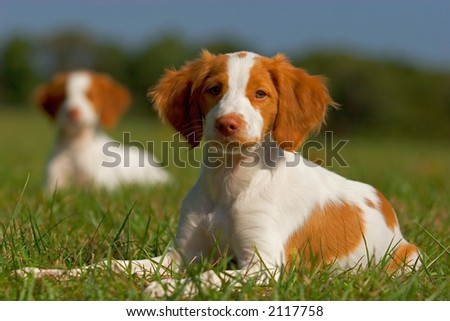 Brittany Spaniel Puppies on Shutterstock Com Pic 2117758 Stock Photo Brittany Spaniel Puppies Html