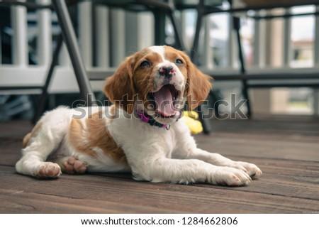 Brittany spaniel puppy #1284662806