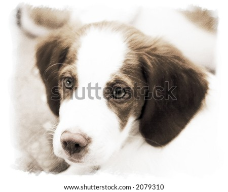 Brittany Spaniel Puppies on Brittany Spaniel Puppy Stock Photo 2079310   Shutterstock