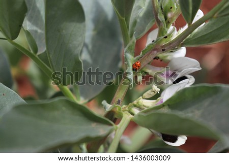 Broad bean blossoms in the orchard