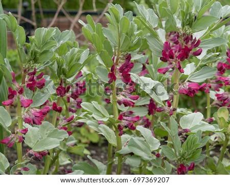 Broad Bean 'Crimson Flowered'  (Vicia faba) on an Allotment in a Vegetable Garden in Rural Devon, England, UK