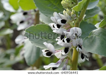 Broad bean plants in flower, variety Witkiem Manita, Vicia Faba also known as field bean, fava, bell, horse, windsor, pigeon and tic bean.