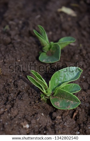 Broad bean (Vicia faba) seedlings