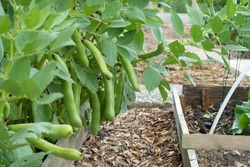broad beans ready to harvest