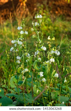 Broad beans vines, Vicia faba plant, vegetable and  flower