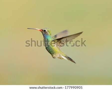 Broad Billed Hummingbird.