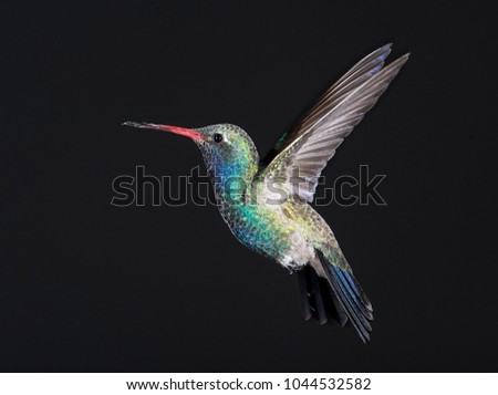 Broad-billed Hummingbird (Cynanthus latirostris) hovering, Ajijic, Jalisco, Mexico