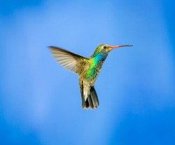 Broad Billed Hummingbird hovering against a blue background protecting his territory. These birds are found in central Mexico. This picture would make an ideal subject for a painting, calendar and art
