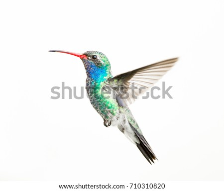 Broad billed hummingbird male, isolated on a white background.