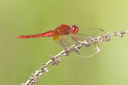 Broad scarlet, common scarlet-darter, scarlet darter, scarlet dragonfly (Crocothemis erythraea), male on a perch
