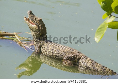 broad snouted caiman  caiman...