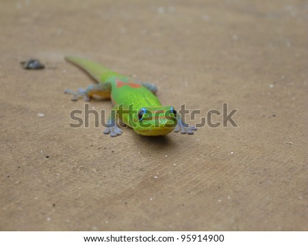 Broad-Tailed day gecko (Hawaii)