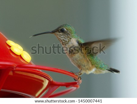 Broad-tailed Hummingbird (female) (selasphorus platycerus)