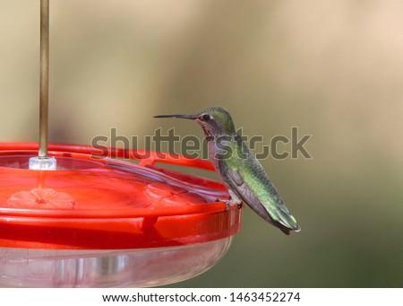 Broad-tailed Hummingbird (juvenile) (selasphorus platycercus)