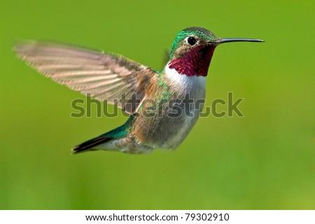 Broad-tailed hummingbird male