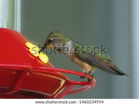 Broad-tailed Hummingbird (male, immature) (selasphorus platycercus)
