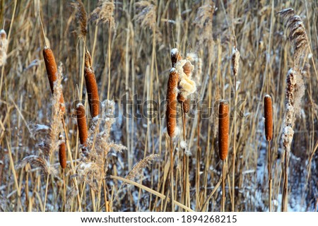 Broadleaf cattail. Inflorescence-ear of broad-leaved cattail with ripe crumbling seeds. Cattail with a brown ear on the lake in winter. Cattail seeds fly in the wind Stockfoto ©