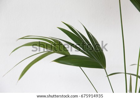 Broadleaf lady palm (Rhapis excels) on white background. #675914935