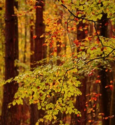 Broadway woods Cotswolds Gloucestershire England Beech woodland and autumn leaves