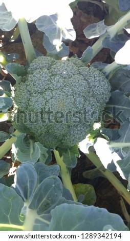 broccoli and lettuce #1289342194