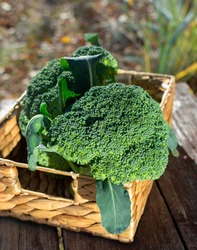 Broccoli (Crowns). Fresh vegetable in wicker basket on outdoor background. This verdant vegetable is a powerhouse of nutrients and to have anti-inflammatory and even cancer-preventing properties.