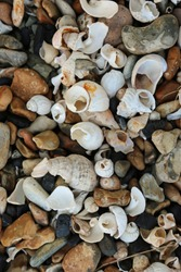 Broken and eroded shells, mostly whelks (Buccinum undatum) and slipper limpets (Crepidula fornicata) on a stony beach with multi coloured pebbles forming a nice collage effect.