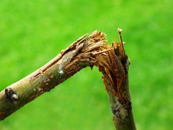 Broken branch snapped over with green grass blurred in background