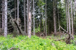 Broken pine trees , severe storms causing big damages in pine woods in Transylvania, Romania.