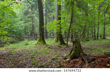 Broken spruce stump partly declined against old natural mixed stand of Bialowieza Forest