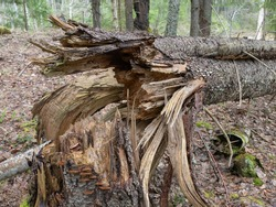 Broken spruce trunk in the forest