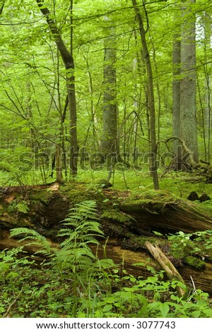 Broken tree laying on forest bottom covered by moss,middle europe,poland,bialowieza forest
