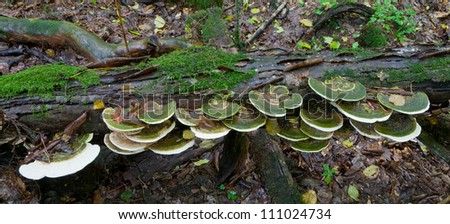 Broken tree moss wrapped with large bunch of Polypore fungi in late summer
