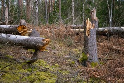 Broken tree trunks in the forest after storm. Fallen trees in the woods after hurricane