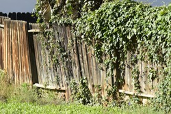 broken wood fence with vines over growing on fence