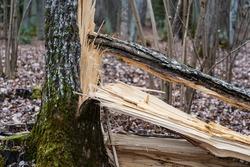 Broken wood. Wood splinters after storm.