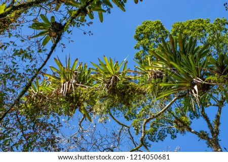 Bromeliad planted on the tree. Tree for garden decoration. Detail of tree top, with bromeliads growing in its trunk. Epiphytic plants