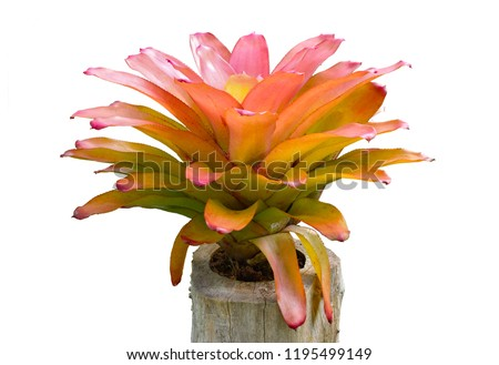Bromeliad tree on stump isolated on white background with clipping path ( Aechmea fasciata, Urn Plant, Guzmania)