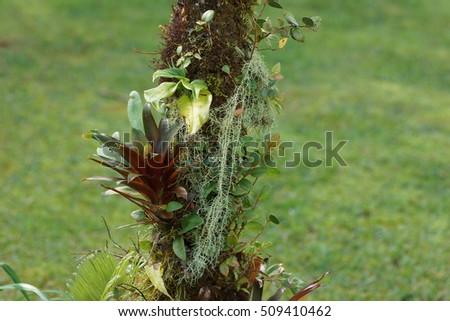 Bromeliads and moss on the tree. Poas Volcano nature. Costa Rica, Alajuela Province, Central Cordillera, Poas Volcano