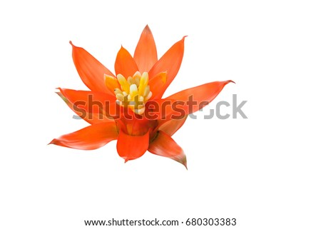 Bromeliads flower red beautiful natural on isolated white  background (Scientific name Guzmania ligulata)