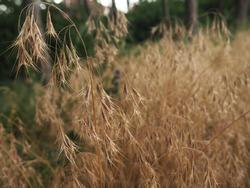 Bromus tectorum - cheatgrass, drooping brome