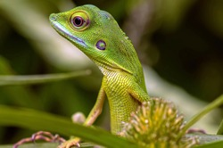Bronchocela cristatella, also known as the green crested lizard, is a species of agamid lizard endemic to Southeast Asia