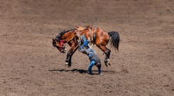 Bronco Riding at the rodeo, A cowboy is trying to ride a roan colored bucking bronco. He is falling off to the visible side of the horse. His hands are touching the dirt of the arena.