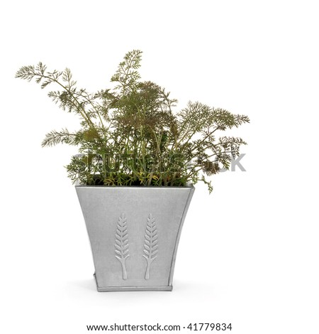Bronze fennel herb in a distressed pewter pot over white background.