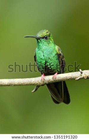 Bronze-tailed plumeleteer (Chalybura urochrysia) is a large hummingbird resident in Central America and South America from eastern Honduras to northwestern Ecuador.