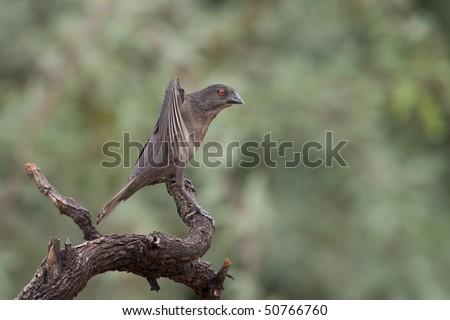 Bronzed Cowbird (Molothrus aeneus loyei), female preening.