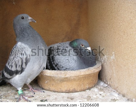 Brood carrier pigeons, the homing pigeon is a variety of domestic pigeon derived from the Rock Pigeon (Columba livia domestica) selectively bred to find its way home over extremely long distances