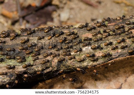 Shutterstock brood of worker termite on tree bark.Termites are eusocial insects that are classified at the taxonomic rank of infraorder Isoptera