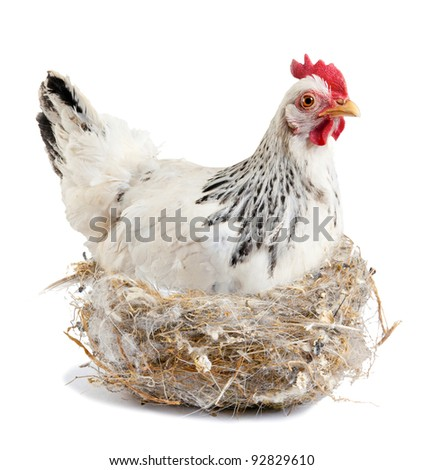 Broody hen in the nest.  Isolated