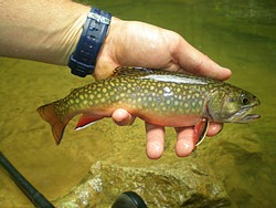 Brook Trout. A popular sport fish. Especially among fly fisherman.It is native to eastern North America.
